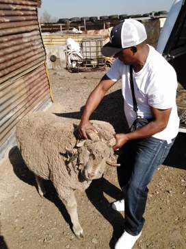 Sheep, Goats, Cows and Chickens for sale
