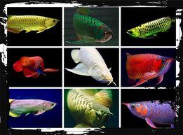 Аравана (Scleropages fotmosus) 14 Видов Аквариумные рыбки