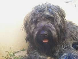 Pure bred Bouvier des Flandres puppies available