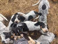Image of blue tick puppies for sale