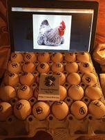 Мастер Грей - інкубаційні яйця