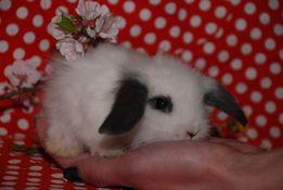 Вислоушки мини, кролик вислоухий баранчик мини разных цветов