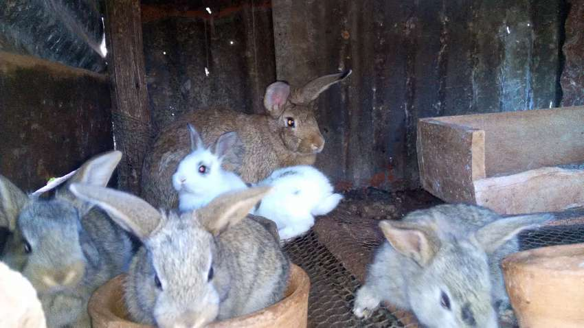 Two months old rabbits for sale 0