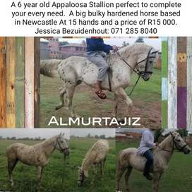 A Appaloosa Stallion, a real looker not to be missed