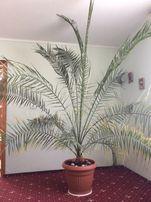 вазон Пальми