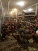 Kury nioski kurczaki kaczki gęsi perliczki