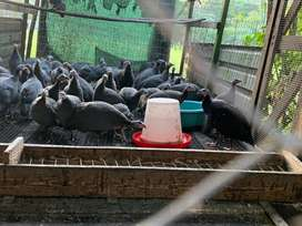 Keets and adult guinea fowl for sale