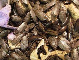 Южноамериканские тараканы