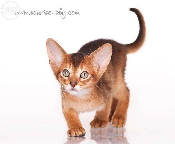 Абиссинский котенок - американский тип Киев - изображение 7