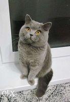 шотландский прямоухий кот мечтает о вязке - Киев