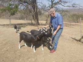 British Alpine Milch goats, billys and nannys for sale