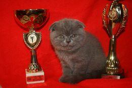 Шотландські Висловухі кошенята