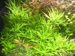 GB Heterantera zosterifolia roślina akwariowa