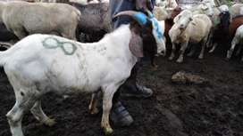Cows, Sheep, Goats and Chickens for sale