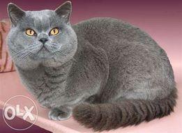 Британский кот на вязку, для вислоушек и прямоушек!
