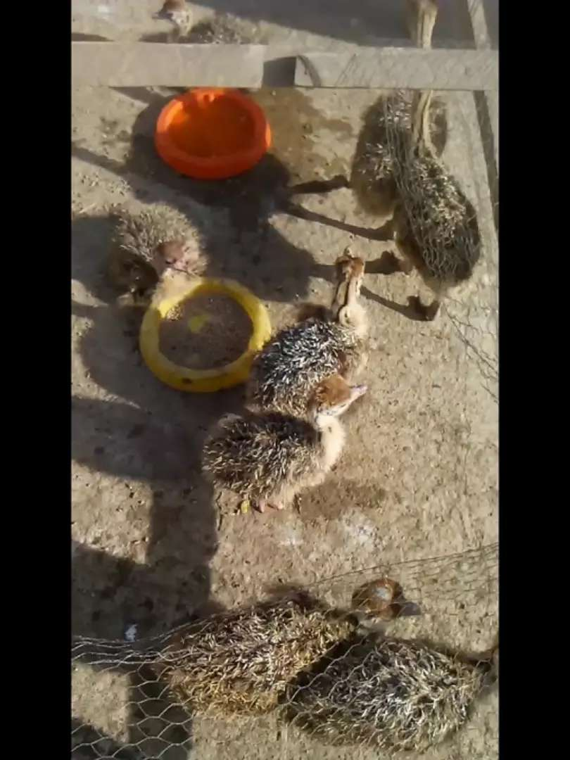 Baby ostrich birds for sale 0
