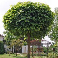 Surmia bigoniowa Nana Katalpa ( catalpa ) Duże drzewo 2m+