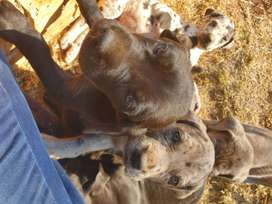 Pure-bred Great Dane puppies for sale