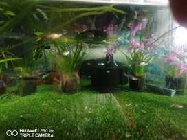 Guppies and platties for sale
