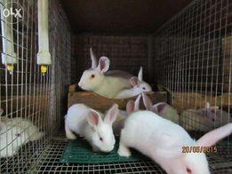 Кролики породы Белый Паннон.