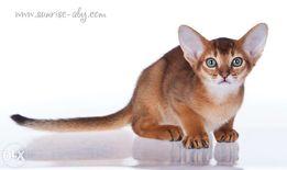 Абиссинские котята - американский тип, питомник Sunrise
