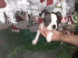 6 Weeks old Adorable Boston Terrier puppies for Sale