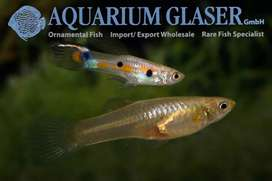 Common guppies for sale