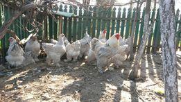 Продам кури,курчата Брама палєвая,Изабель,Лососева нова,Амрокс